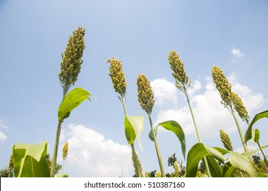 Jowar grain Sorghum crop farm, Amravati District, Maharashtra, India.