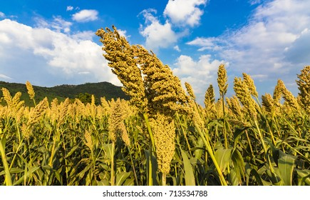 Jowar grain sorghum grown under blue sky and white clouds