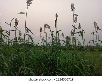 Jowar green plants view at early morning near village