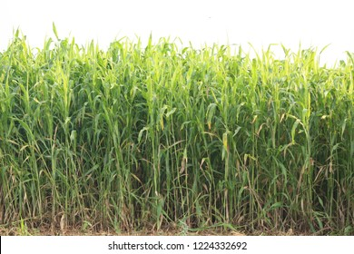 jowar plants crop in agriculture fields india