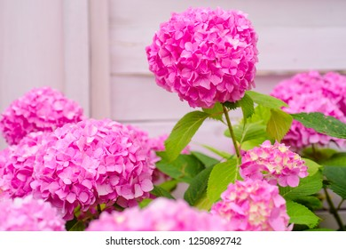 The joy of the garden. Blossoming flowers in summer garden. Pink hydrangea in full bloom. Hydrangea blossom on sunny day. Flowering hortensia plant. Showy flowers in summer.