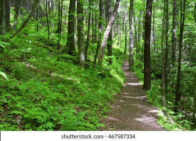 Joyce Kilmer Forest with Path in the Summer