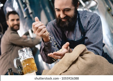 Joyful bearded brewer sifts through hand wheat for brewing in craft of craft brewery. Process of beer manufacturing. Brewing. Brewery.