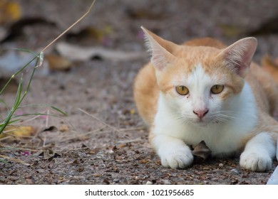 A joyful brown-and-white Siamese cat on the ground looking for some fun
