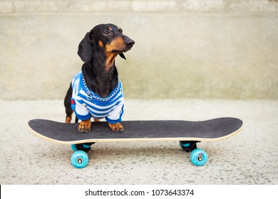 Joyful dog dachshund, black and tan, dressed in a T-shirt riding a skateboard on the street