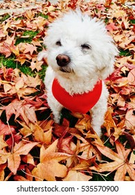 Joyful Dog in middle of colorful Autumn Leaves.