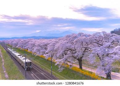 JR Tohoku train railroad track with row of full bloom cherry tree along the Shiroishi river ( Shiroishigawa tsutsumi Hitome Senbonzakura ) with mountain background in Funaoka Castle Park,Miyagi, Japan