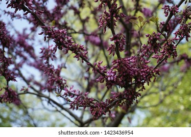 Judas tree branches and blossom