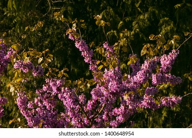 Judas tree branches with purple blossom