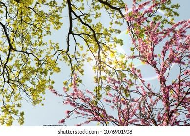 Judas tree (Cercis siliquastrum) branches
