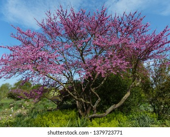 Judas tree (Cercis siliquastrum), Fabaceae family