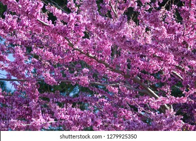 Judas tree spring purple blossom