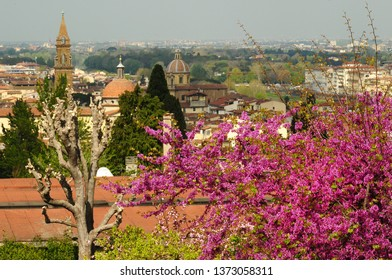Judas trees and Basilica of Carmine on background, as seen from Piazzale Michelangelo, Florence. Italy.