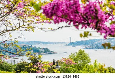 Judas trees (Turkish: Erguvan) in Istanbul. Beautiful spring view of the Istanbul Bosphorus. Turkey.
