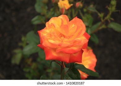 Judy Garland rose bush with big blossom in landscaping in New Jersey.