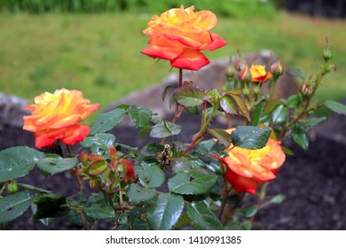 Judy Garland rose bush in some  landscaping  in a garden in New Jersey.