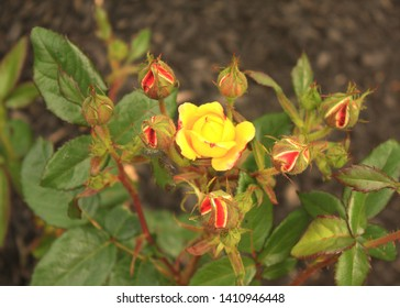 Judy Garland roses starting to bloom. Top view center rose blooming and buds around the blossom.