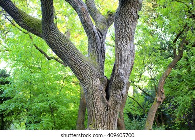 Juglans Nigra (Eastern Black Walnut) at park in Istanbul