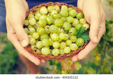 Juicy berries of a gooseberry in a small basket in female hands. Gooseberry harvest