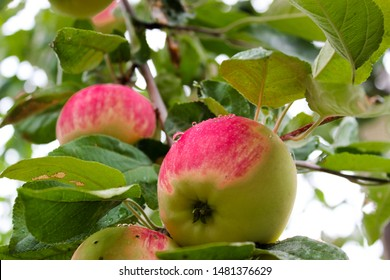 Juicy, bright apples on the dacha