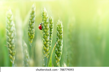 Juicy fresh ears of young green wheat and ladybug on nature in spring summer field close-up of macro with free space for text .