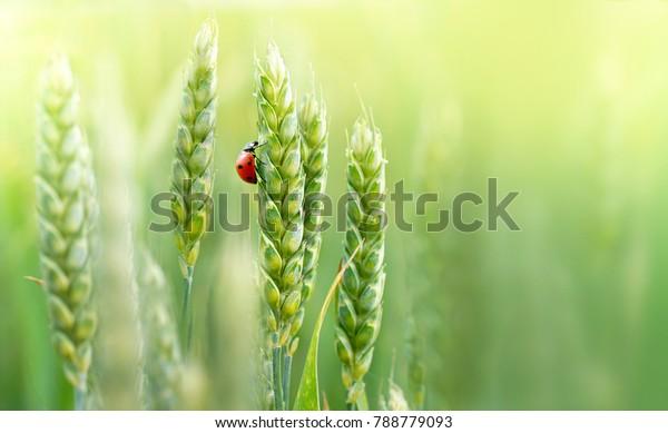 Jugosas orejas frescas de trigo verde joven y mariquita sobre la naturaleza en el campo de verano de primavera de cierre de macro con espacio libre para el texto