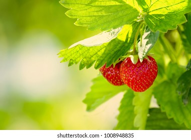 Juicy fresh ripe strawberries on a branch in nature outdoors close-up macro. Beautiful berries strawberries with leaves on a light green natural background with copy space.
