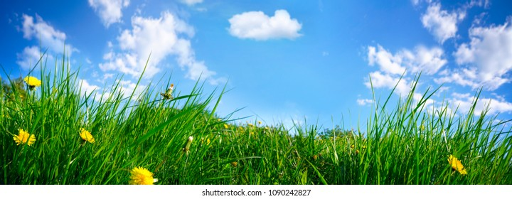 Juicy fresh young grass with yellow dandelions close-up on summer nature on blue sky background with clouds, panoramic viev, copy space.