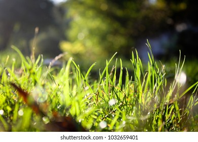 Juicy grass in the sunlight. in some places, droplets of dew are visible.