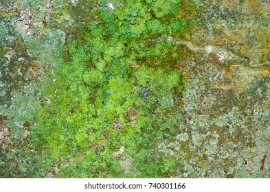 A lot of juicy green lichen on a mossy concrete wall texture.