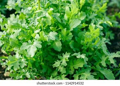 Juicy green rucola grows in the garden