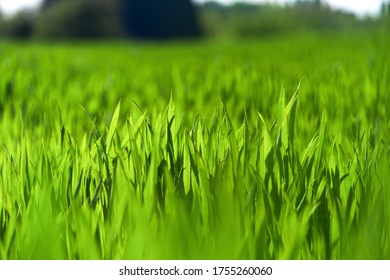 Juicy green spring grass. Abstract Summer background texture of colorful green high vegetation. soft focus. New close-up bright green grass in park or football pitch or golf yard.