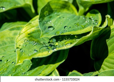 Juicy greens hosts wet with water drops on the foliage after the rain, close - up