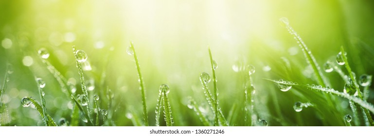 Juicy lush green grass on meadow with drops of water dew in morning light in spring summer outdoors close-up macro, panorama. Beautiful artistic image of purity and freshness of nature, copy space. - Shutterstock ID 1360271246