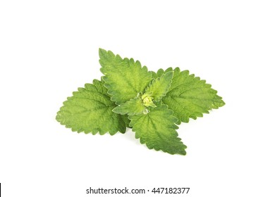 juicy mint on a white isolated background