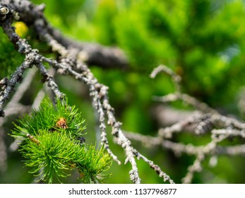 Juicy needles of branches of a coniferous tree, of an ancient tree lying on the ground in the Ural forest, Russia