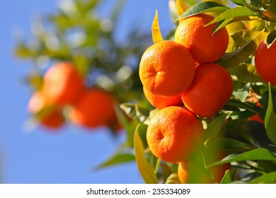 Juicy oranges on the tree on blue sky background.