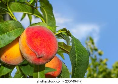Juicy organic peaches on a tree