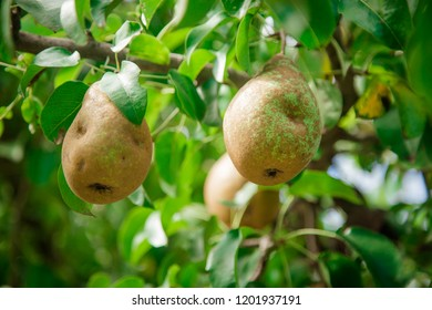 juicy pears on the branch