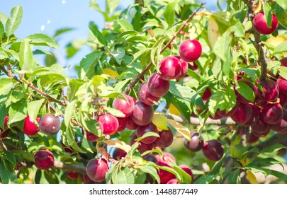 Juicy red plums close-up. Bright purple plums on tree. Fruit tree with green leaves and fruits. Veggie berries concept, colorful summer background.