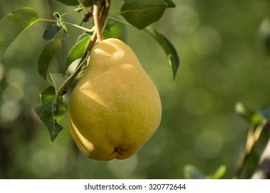 Juicy ripe pear hanging from branch