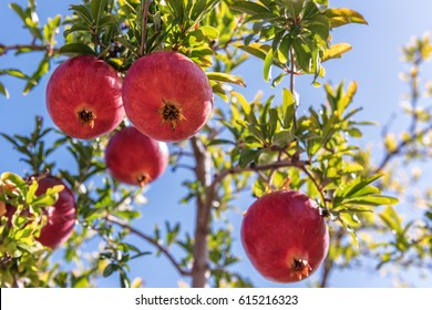 juicy and sweet pomegranate (garnet) on the tree