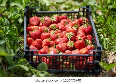 Juicy sweet strawberries in a crate, freshly picked