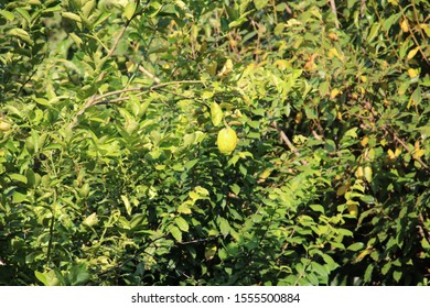 juicy yellow and green orange on the branch of trees