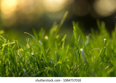 Juicy young grassy grass close-up