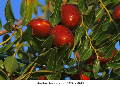 jujube fruit or drupe Latin ziziphus jujuba ripening on a bush or tree in Italy also has various names as a type of date for example red date related to buckthorn family rhamnaceae