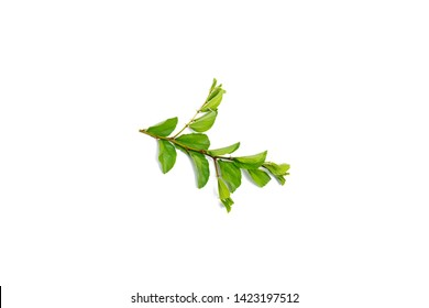 Jujube leaf on white background.Jujubes are a member of the Rhamnaceae or Buckthorn family and are botanically known as Ziziphus jujuba.