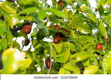 Jujube,  red date, Chinese date, Korean date, ndian date,  buckthorn family