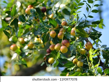Jujube (Ziziphus jujuba) with colorful fruits