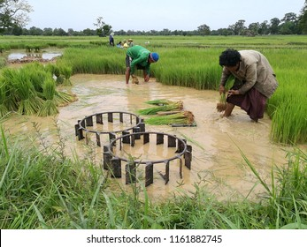 Jul 24 2018: Ubonratchatani Thailand: farmer is producing rice sprouts,rice seedlings in field. agriculturist work agriculture in Thailand.